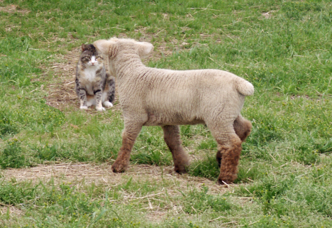 Lamb with Kitty