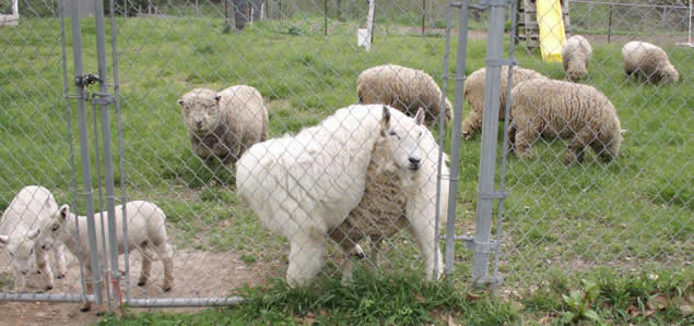 Great Pyr and sheep