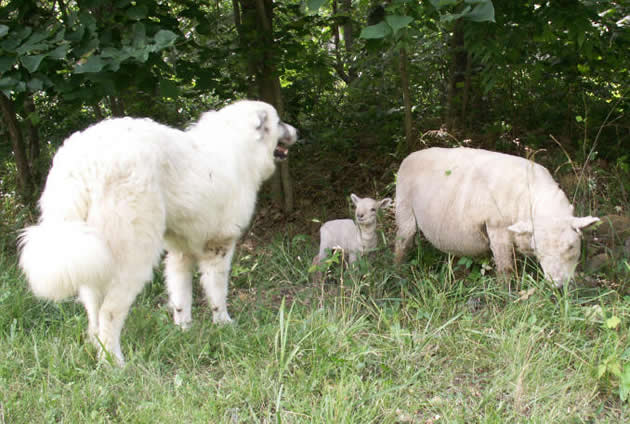 Babydoll Sheep & Great Pyrenees