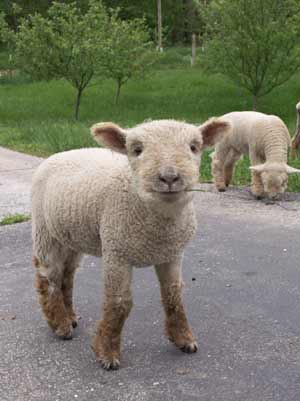 Lamb from MyLittleSheep.com