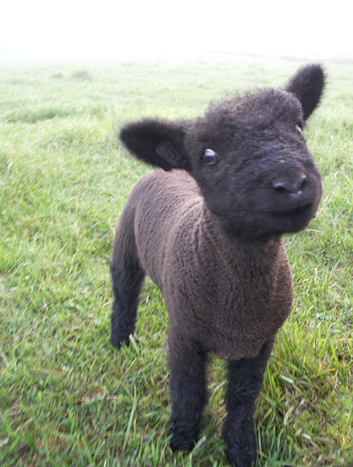 Miniature babydoll sheep for pinterest
