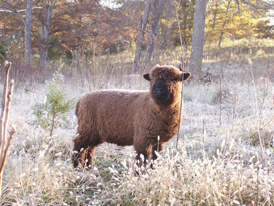 Black yearling ewe
