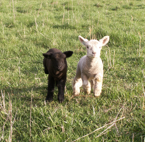 Your First Lambs – My Little Sheep