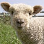 My Little Sheep