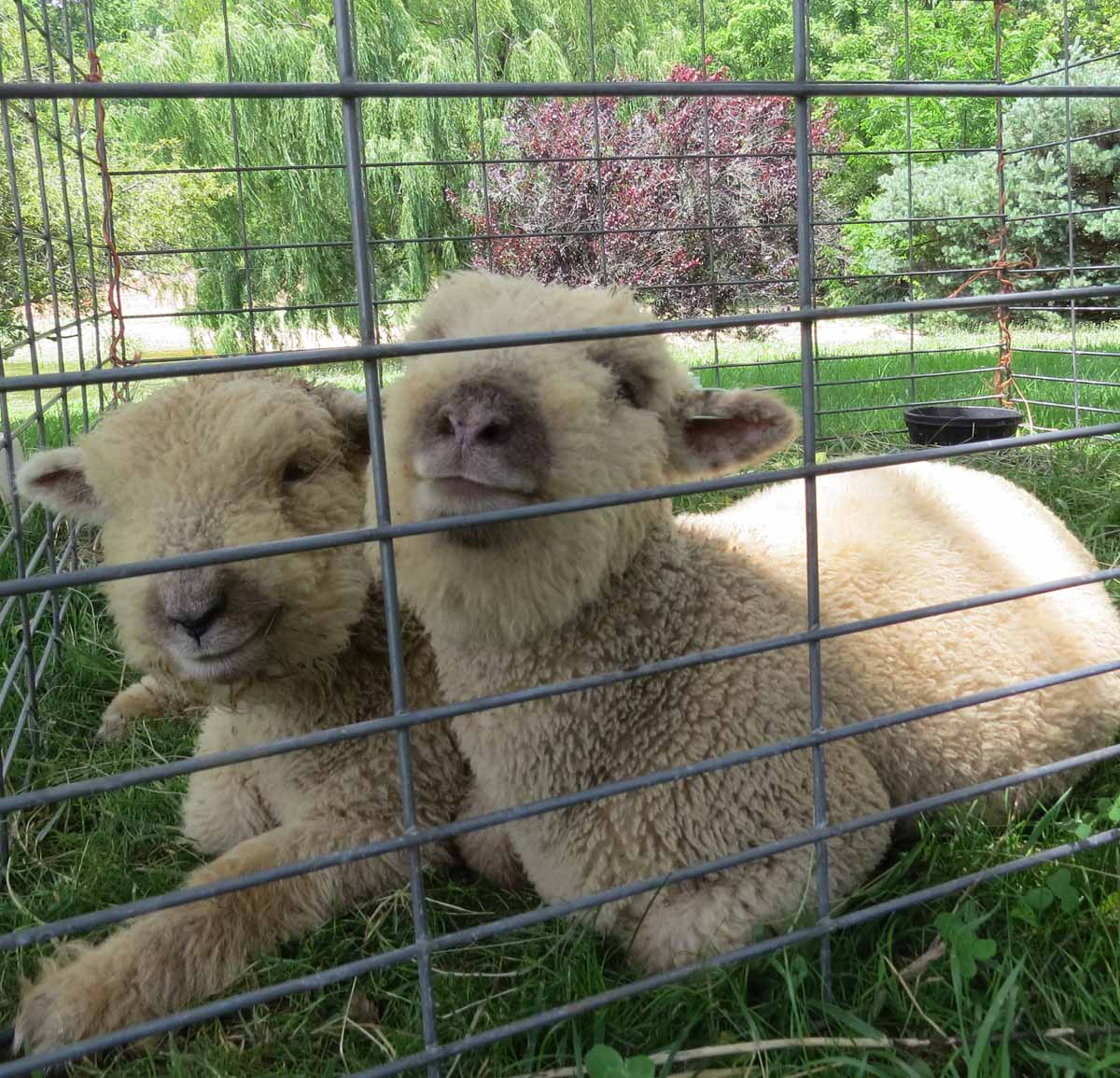 For Sale – My Little Sheep